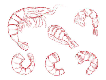 Illustration of shrimp in engraving style.