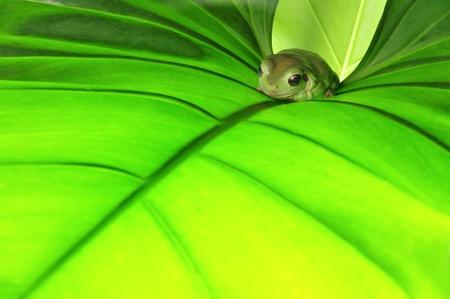rana en la hoja verde Foto de archivo
