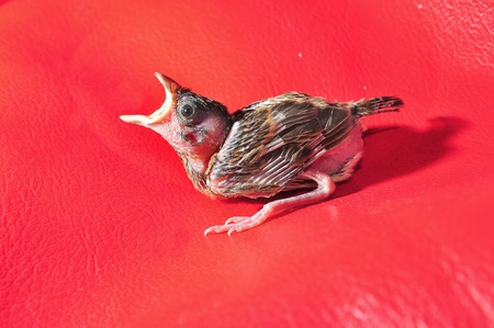 baby sparrow on red