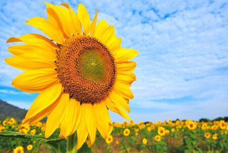 sunflower field and blue sky Stock Photo