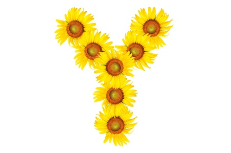 Beautiful yellow Sunflower alphabet, isolated. capital letter Y