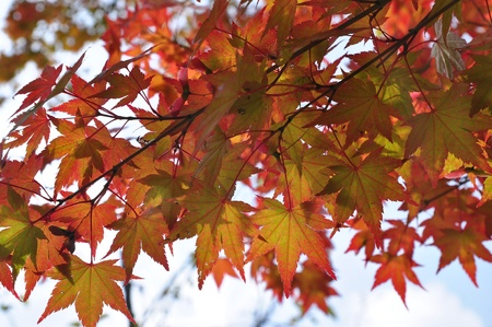 las hojas de arce en oto�o