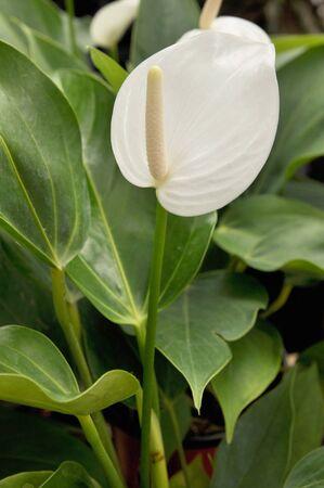 white anthuriums flower