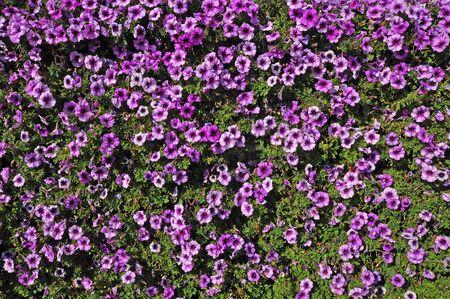 planta de p�rpura y verde de la vista superior de la hoja
