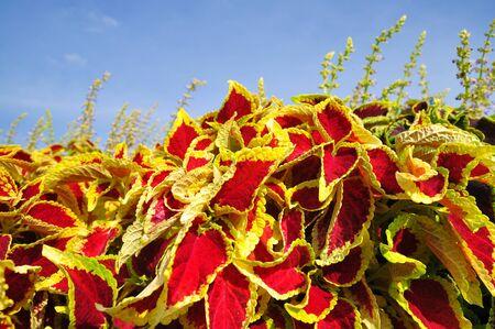campo rojo, planta, Foto de archivo