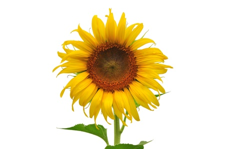 beautiful sunflower background on white background photo