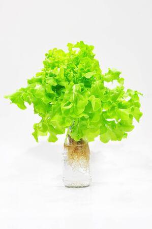 green organic lettuce Stock Photo