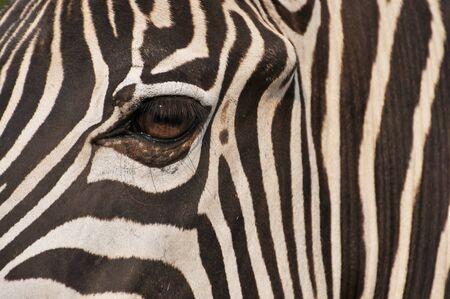 zebra eye Stock Photo