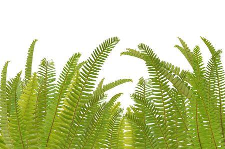 fern leaf on white background