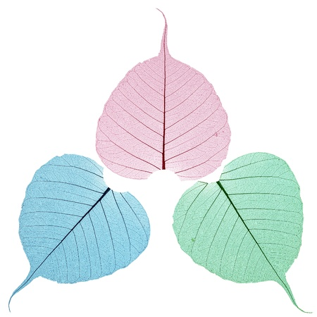 Bodhi leaves in red green blue colour  Stock Photo
