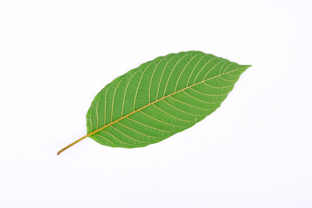 plant drug: The back of Kratom leaf (Mitragyna speciosa), a plant of the madder family used as a habitforming drug Stock Photo