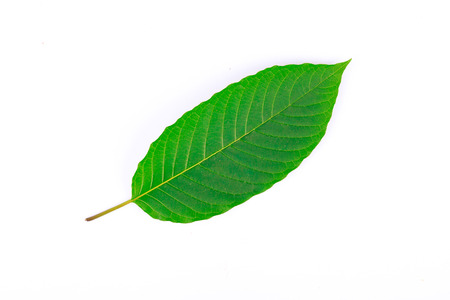 The front of Kratom leaf (Mitragyna speciosa), a plant of the madder family used as a habitforming drug