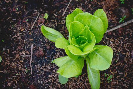 butterhead lettuce  on  organic vegetables salad  food background