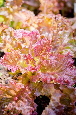 red coral salad on  organic vegetables salad  food background Reklamní fotografie