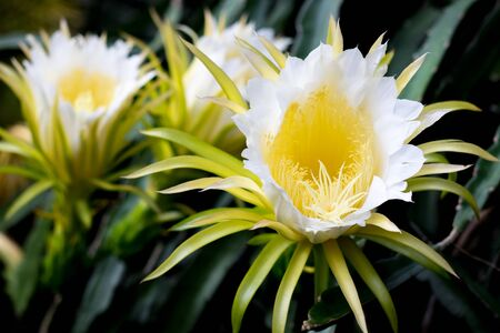 white dragon fruits flower blooming hylocereus on climber planting  floral  nature  background Imagens - 129713344