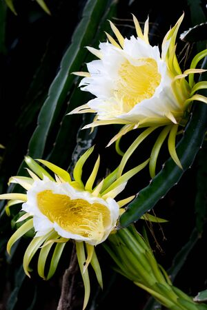 white dragon fruits flora blooming on climber planting  floral  nature  background