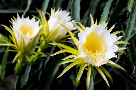 beautiful dragon fruit flower on climber planting  floral  nature  background
