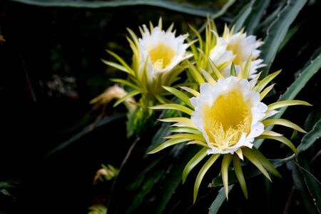 White dragon fruits flower blooming hylocereus on climber planting  floral  nature