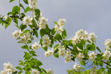 Branch of jasmine flowers isolated on the blue sky background photo