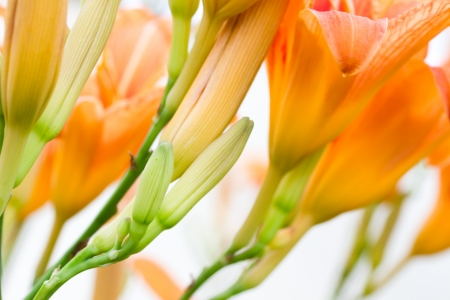 Orange lily buds and flowers isolated on white background Stock Photo