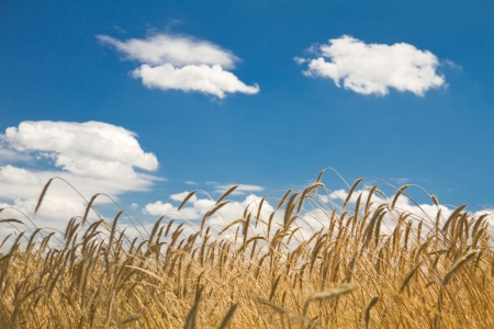 Field of crops on blue sky Stock Photo