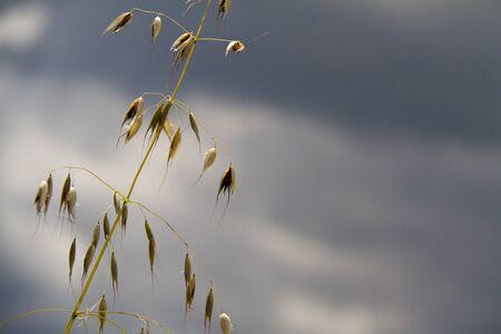 Field of oats seeds