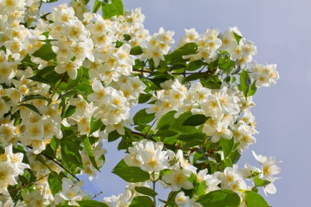 Branch of jasmine flowers isolated on the blue sky sky background photo