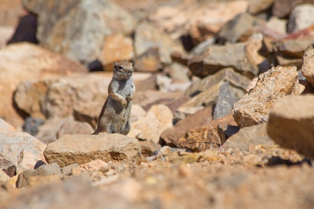 barbery: Striped squirrel Fuerteventura Stock Photo