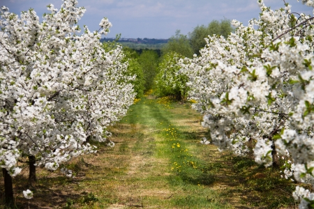Spring orchard trees with flowers Stock Photo
