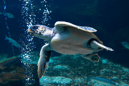 Turtle swimming underwater with air bubles Stock Photo