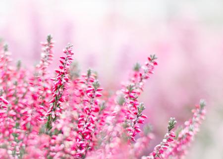 cielo de nubes: Heather caer flor en el jardín