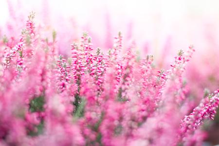 Heather vallen bloem in de tuin