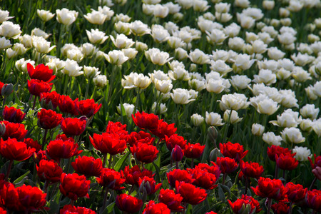 Red and white tulips field in botanic garden