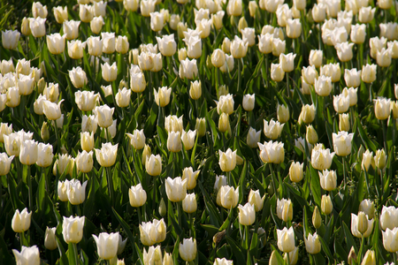 White tulips field in botanic garden