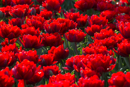 Red tulips field in botanic garden