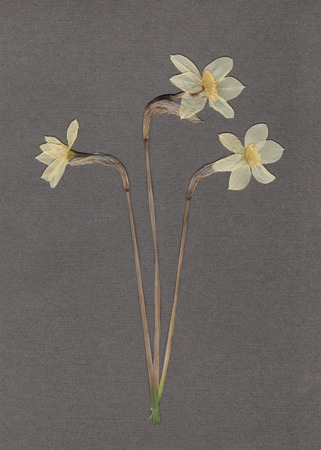 scan paper: Pressed and dried daffodils. White narcissus. Scanned image. Vintage herbarium background on gray paper.