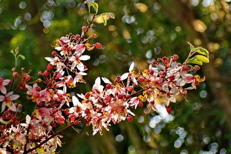 cassia: Cassia Bakeriana Craib