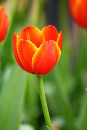 tulipan: Pomarańczowy tulipan na tle rozmycia Zdjęcie Seryjne