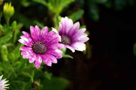 african daisy: Purple African Daisy flower, Osteospermum flower on blurred background