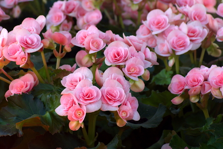 vigorousness: Beautyful pink begonia flower in the garden. group of begonia flower. Stock Photo