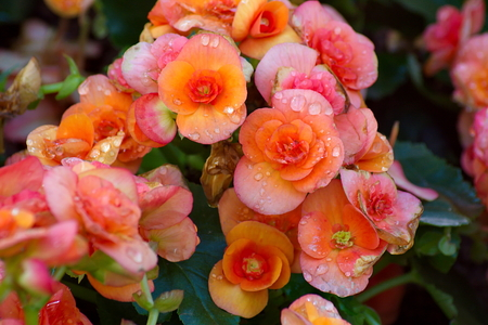 vigorousness: Beautiful orange begonia flower in the garden. group of begonia flower. Stock Photo