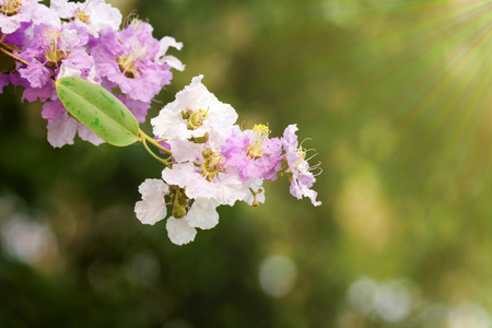 fill fill in: Purple and white Lythraceae or Lagerstroemia floribunda Jack flower on blurred background with fill light effect in composition.