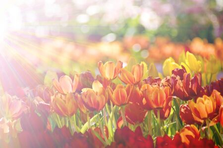fill in: Beautiful orange tulip flower field in sunlight at the garden, Bright field effect fill in photo