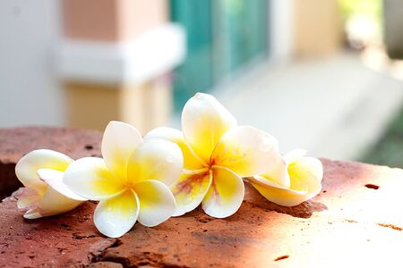 brick floor: Blooming white Plumeria or Frangipani flowers on the brick floor with blurred house background.