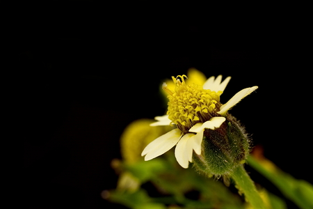 asteraceae: Mexican daisy or Tridax flower on dark background