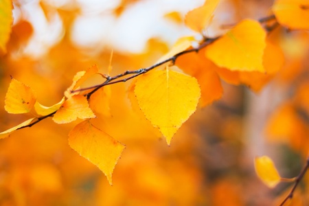 beautiful thanksgiving: autumn leaves background in a sunny day