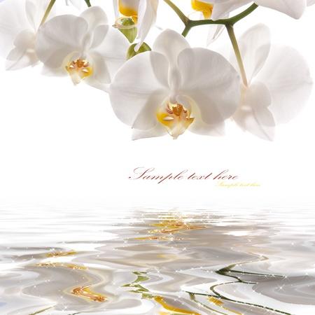 orchidee: cartolina. orchidee bianche sull'acqua