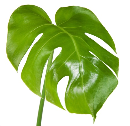 monstera leaf: Leaf of monstera isolated on white background Stock Photo