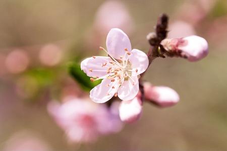 Peach flower: Spring blooming tree