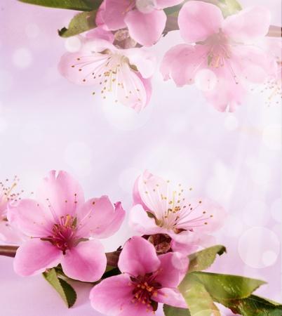 flor de durazno: Primavera en flor árbol